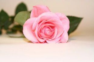 "free photo ""rose"" from free photo search engine everystockphoto.com"
