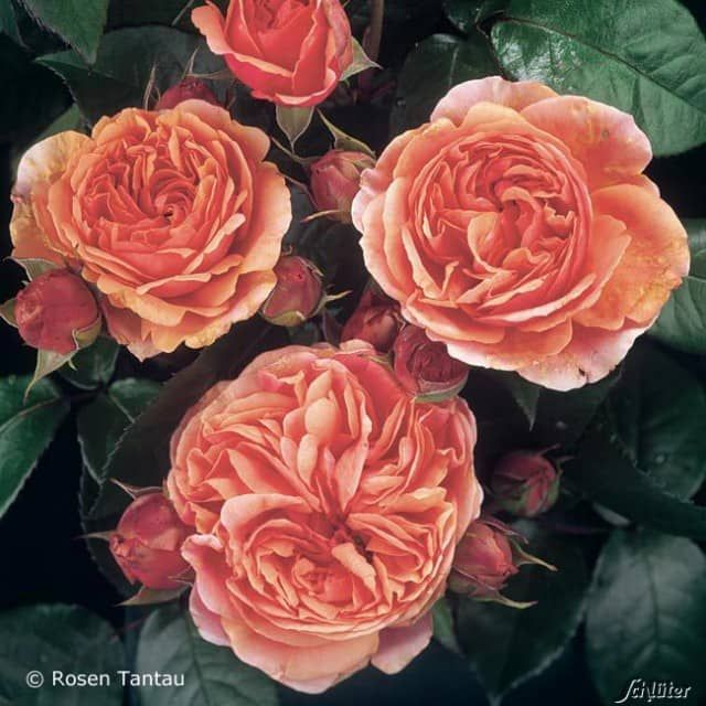"""Die nostalgische Strauchrose """"Chippendale®"""" passt wunderbar zu dem romantischen Chippendale-Stil.Ihre mehrfach gefüllten, schalenförmigen Blüten sind dunkelorange-rosa und duften herrlich. Ihr Duft erinnert an den der Edelrosen, deshalb sollte diese schöne Strauchrose auch in die Nähe von Sitzplätzen gepflanzt werden.Neben den schönen Blüten besitzt die nostalgische Rose """"Chippendale®"""" eine gute Gesundheit, einen starken, robusten Wuchs und wunderschönes, gesundes Blattwer..."""