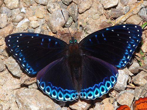 Popinjay - Stibochiona nicea - Namdapha National Park, Arunachal Pradesh, India, via Flickr.