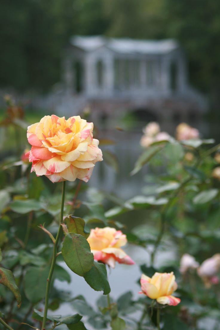rose/  roses / Catherine park /  Tsarskoye Selo / Pushkin / marble bridge  in Catherine park