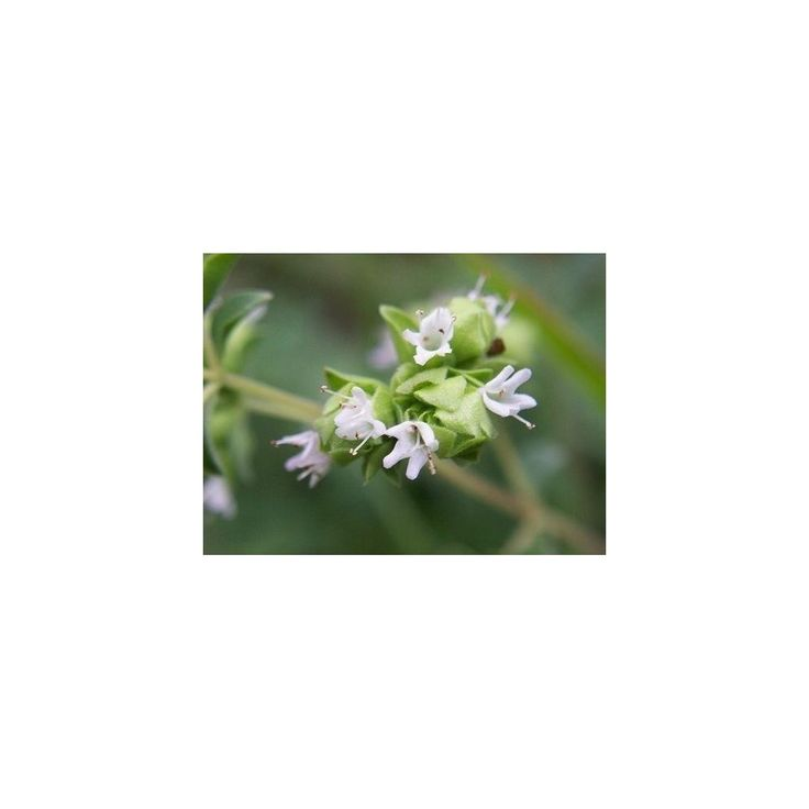 Herb Seeds Marjoram Sweet  1,80€  Herb Seeds Marjoram Sweet (Origanum Majorana) Price for Package of 1000+ seeds. Used in many Middle Eastern and Mediterranean dishes, this wonderfully fragrant herb has a sweet pine-citrus flavour. This easy to grow plant is often used in herb mixes, such as Herbes de Provence; and is often used in soup, and meat dishes. Perennial herb, flowrswhite height 20 - 40 c