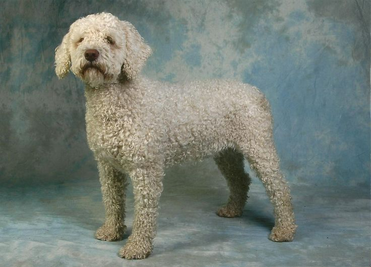 The Spanish Water Dog Society of Great Britain