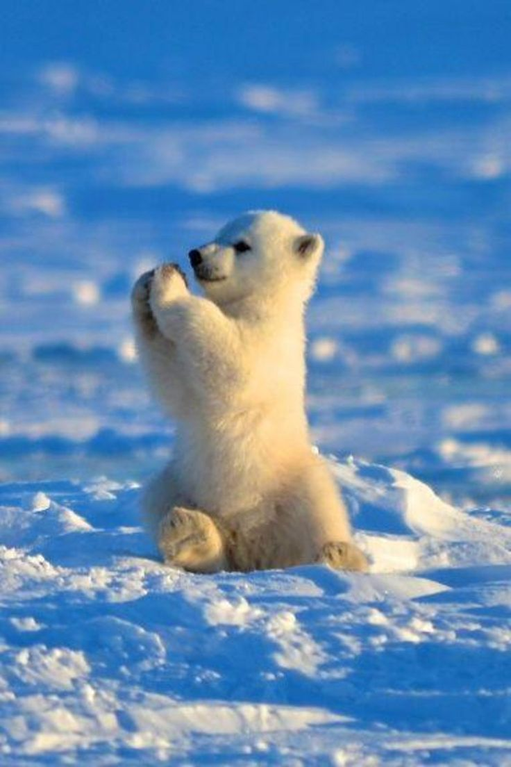 baby polar bear giving you a high five
