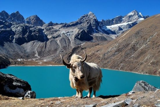 """Rare White Yak 
