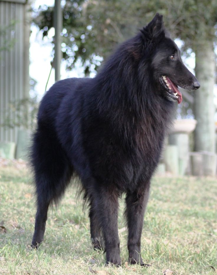 and the black Belgian Shepherd .This Belgian looks like my dog Ripper. I loved him so much. I miss his sweetness.