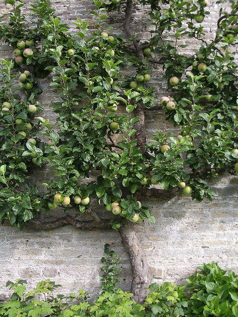 Fruitboom tegen voorkant huis ♡