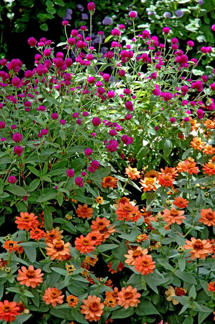 21 best colorful annuals images on pinterest showers antirrhinum zinnia profusion deep apricot foreground is a captivating color that mixes well izmirmasajfo Choice Image