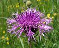Sentauree scabieuse Fleurs des Hautes-Alpes