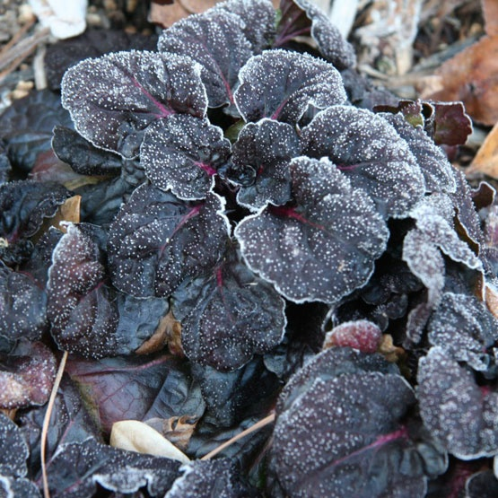 slideshow of winter garden beauty here fabulous frosted ajuga