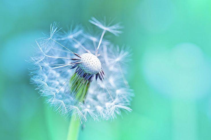 Oksana Ariskina Photograph - Beautiful Dandelion by Oksana Ariskina  #OksanaAriskinaFineArtPhotography #Dandelion #Flower #ArtForHome #Aqua  #FineArtPrints #InteriorDesign