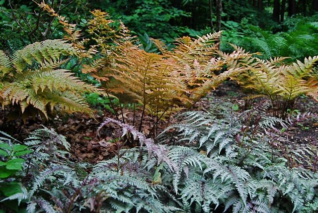 The autumn fern (or autumn shield fern, Zones 5-8 or 9), another Japanese species (Dryopteris erythrosora), was always a very good plant, with bronzy coloring in spring and a lustrous surface to the foliage.