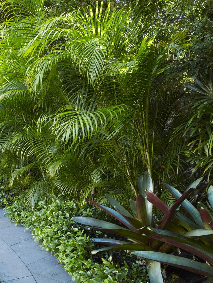 Dypsis lutescens with King Bromeliads