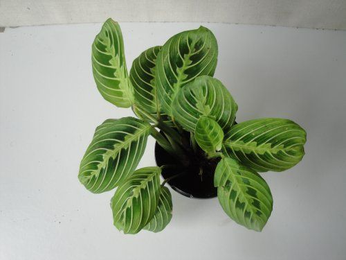 Green Prayer Plant in a Four Inch Pot... $15.90 | Home ... Ruffled Birds Nest Fern For Sale