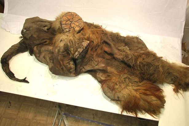 A well preserved mammoth has been found in Siberia. It's so well preserved that it still has part of his fur on.   It's disturbing to look at such an ancient thing. It looks like it died a few days ago.