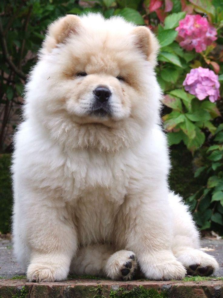 Собаки породы чау-чау (фото): своенравный домашний лев  Смотри больше http://kot-pes.com/sobaki-porody-chau-chau-foto-svoenravnyj-domashnij-lev/