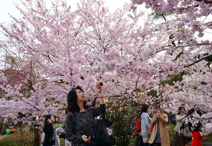 IlPost - Alcuni passanti fotografano gli alberi in fiore in un parco di Tokyo. (YOSHIKAZU TSUNO/AFP/Getty Images) - Alcuni passanti fotografano gli alberi in fiore in un parco di Tokyo. (YOSHIKAZU TSUNO/AFP/Getty Images)