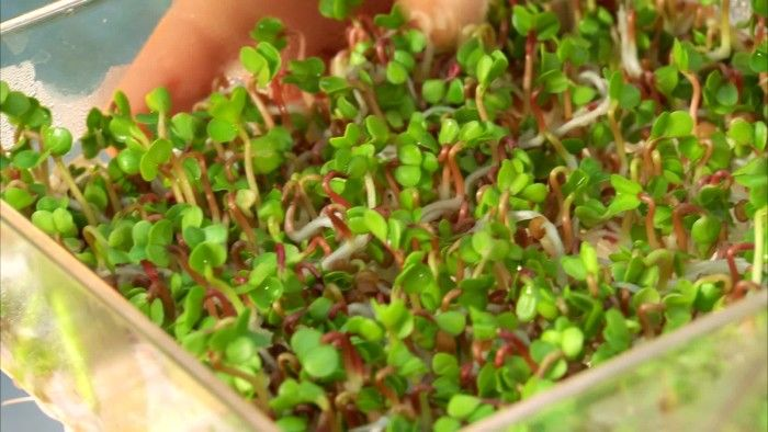 Varje frö innehåller precis så mycket näring att det räcker för att producera en rot och ett par hjärtblad, sedan måste växten få näring utifrån. När man groddar ett frö får man fram det allra mest näringsrika stadiet av en växt, en riktig näringskick.