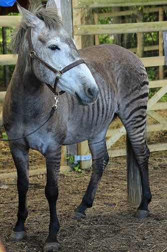 Zorse at Beamish, England - photo by David Millican (millicand), via Flickr