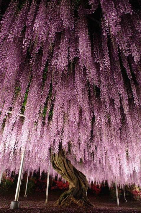 Wisteria Blooms in Japan