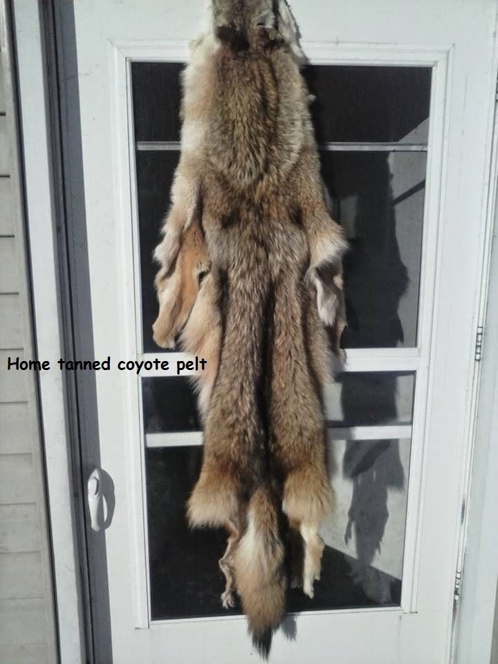 Foremost Coyote Hunting: Home Tanning your Coyote | Coyote ...