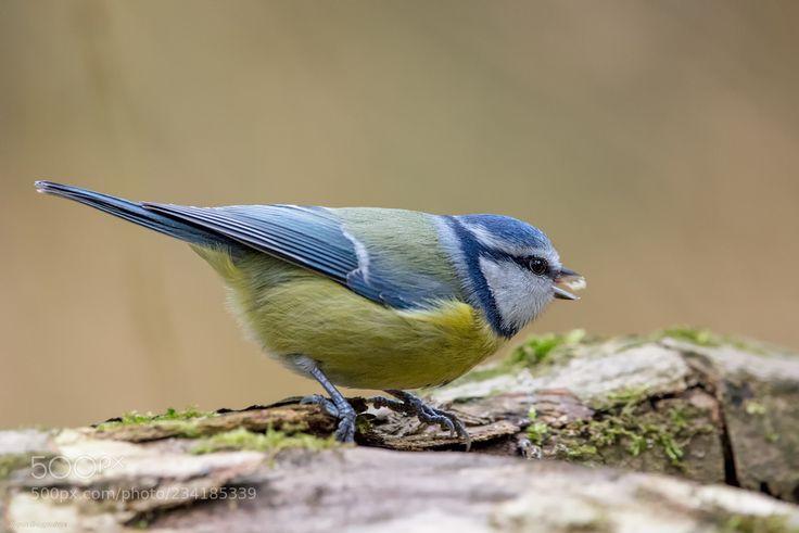 Blaumeise / Blue Tit Found.... (Sigrun  Brüggenthies / Dortmund / Deutschland) #Canon EOS 5DS #animals #photo #nature