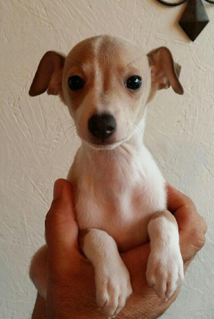 Italian Greyhound puppy, fawn, 7weeks old, Dobby