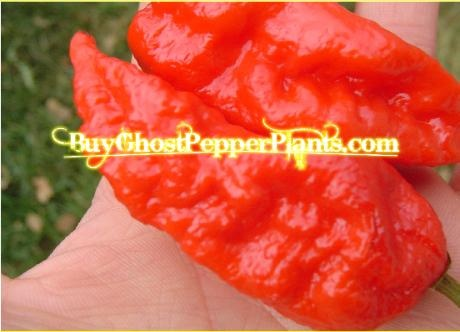 Bhut Jolokia Ghost Pepper. Ten times hotter than a habanero pepper!  LIVE plants $10.00 with free shipping.  I ship out Mondays and Tuesdays, so get your order in if you want them this week!