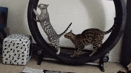 Raika is still too skittish for me to teach directly so I got Tachi to show her how the exercise wheel works.   cats funny pictures