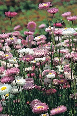 Native Everlasting Daisy Rhodanthe chlorocephala - these are a must for our native garden. I so love the colour.
