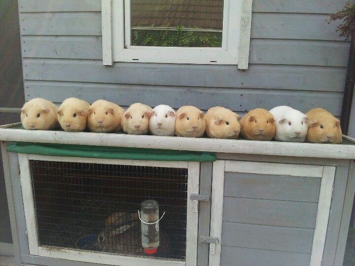 Cute guinea pigs!!!!!
