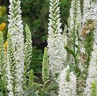 P5 Veronica longifolia 'Charlotte' or V. l. 'Alba' Deciduous perennials Position: full sun or partial shade Soil: moderately fertile, moist, well-drained soil Rate of growth: average Flowering period: June to August Hardiness: fully hardy H: 90 cm S: 30 cm Slender, upright spires of white, tubular flowers appear in summer