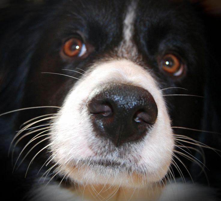 my favourite border collie girl, Zara
