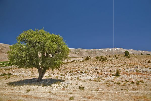 Desert Tree: On the way to Baalbek we found mountain tops still had snow in July and yet it was more than 40C at this tree. I wish we had taken some snow with us on our trip that day.