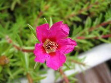 I love this flower!  Have it growing all over my yard.  Portulaca grandiflora (Moss-rose), is a flowering plant in the family Portulacaceae, native to Argentina, southern Brazil, and Uruguay. It is a small, but fast-growing annual plant growing to 30 cm tall, though usually less. However if it is cultivated properly it can easily reach this height.