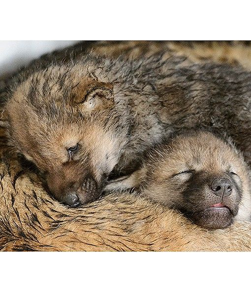 Best 25+ Baby wolves ideas on Pinterest | Wolf pup, Wolves ...