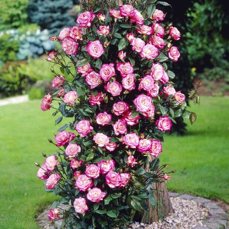 foto de 71 best The best climbing roses images on Pinterest