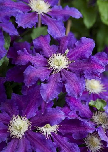 'The Vagabond'  Best for Long flowering  The gorgeous cobalt blue of these very large flowers really stood out in the trial, and they still looked lovely even when they faded to a more washed-out pinky blue. The sheer flower power was also outstanding; at their peak the plants were almost completely cloaked in vibrant blooms. Bushy plants which didn't attempt a getaway and silky, spidery seed heads also added to their charm. This was a fabulous plant from all angles.  H x S 120cm x 70cm