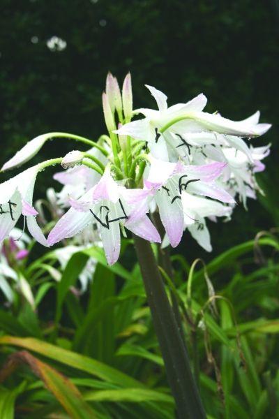 best  tall purple flowers ideas on   verbena, drought, Beautiful flower