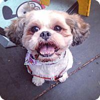 Shih Tzu Mix Dog for adoption in New York, New York - Rue