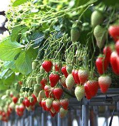 Fruits picking in Japan