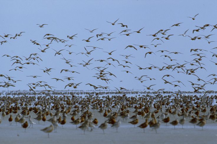 Just imagine: 2 UNESCO #WorldHeritage sites - one in Europe, the other in Africa - are connected by millions of migratory birds, travelling btw them throughout the year. For this reason, the Banc d'Arguin Nat'l Park & the Wadden Sea have joined forces to learn from each other in conserving their #WorldHeritage areas. #WorldHeritage brings societies & cultures closer together, strengthening the fabric of our shared destiny http://ow.ly/tyncE