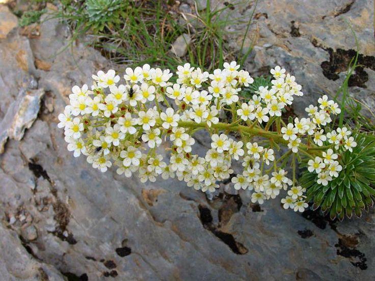 Es una planta perenne compuesta por una gran roseta for Plantas hoja perenne