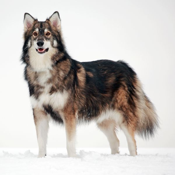 The Utonagan (or Northern Inuit) gets its name from an old Chinook Indian tale and means 'spirit of the wolf'. This breed is designed to look like a wolf but without the wild blood to ruin its temperament. As a relatively young breed, this dog is still being developed. They are a cross between Alaskan Malamutes, Siberian Huskies and German Shepherds.