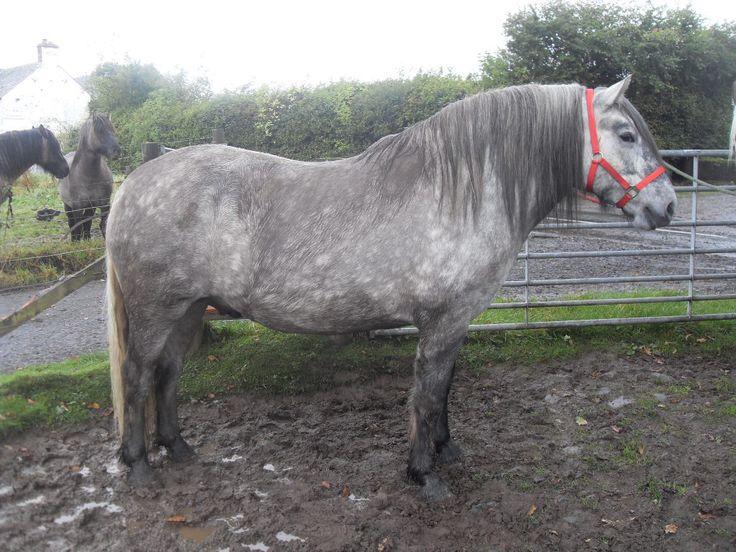 Iceni Native Pony - Home | Facebook