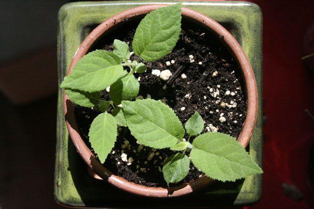 kiwi a partir de las semillas de los ejemplares que consumís en casa