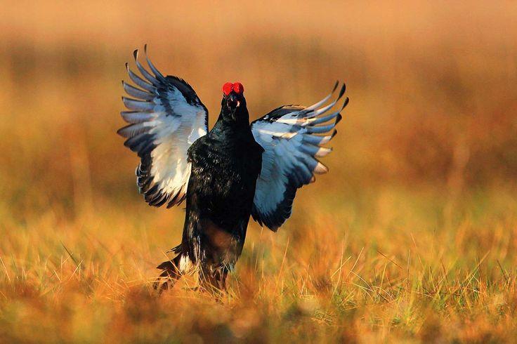 Kogut cietrzewia Fot. Marcin Nawrocki, Mateusz Matysiak (Facebook.Com/Ptakipolski), Fauna Press #natura #przyroda #cietrzew #cieciorka #ptaki #kogut #fauna #flora #nature #inspiration #earth #animals #birds #wild