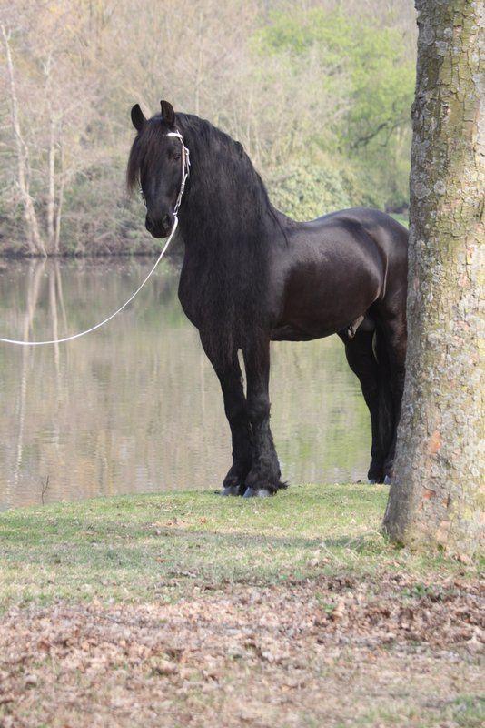 Gorgeous fairytale Friesian horse.