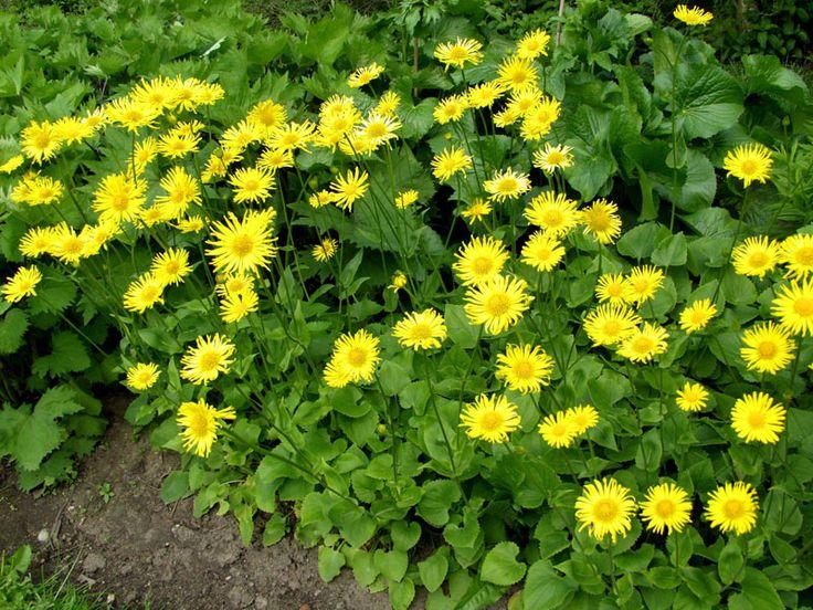 KEVÄTVUOHENJUURI - Doronicum orientale  Aurinkoinen alkukesän kukkija vihertyy jo varhain. Mätästävä kasvutapa, ei vaadi jakamista. korkeus: 40 cm kasvupaikka: Aurinko-puolivarjo väri: Keltainen kukinta-aika: Touko-kesäkuu
