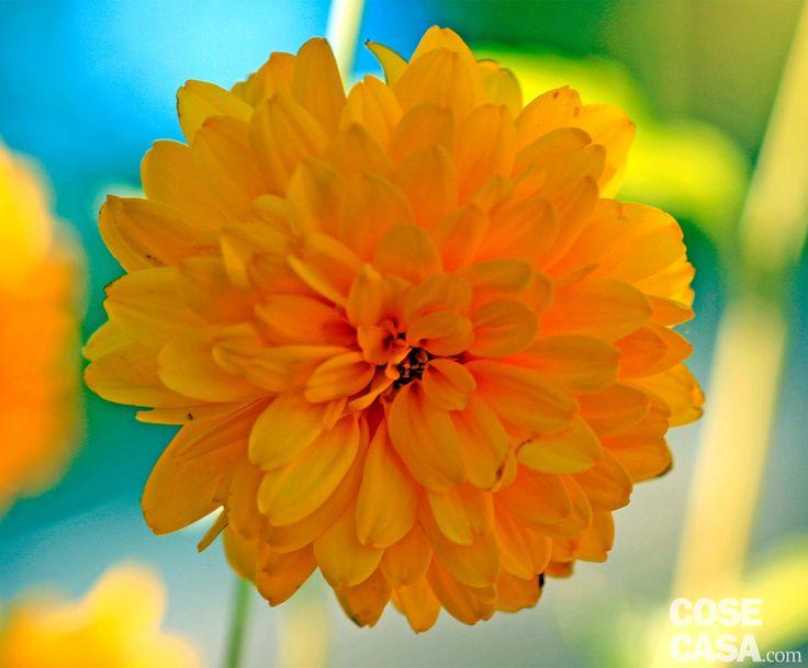 Rudbeckia Goldquelle: fiori dorati che sbocciano da agosto, resistono al freddo e sono perfetti in montagna.