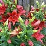 Transplanting Lily Bulbs – Tips On How And When To Move Lilies In The Garden
